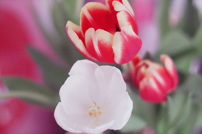 Tulipes rouge et blanche